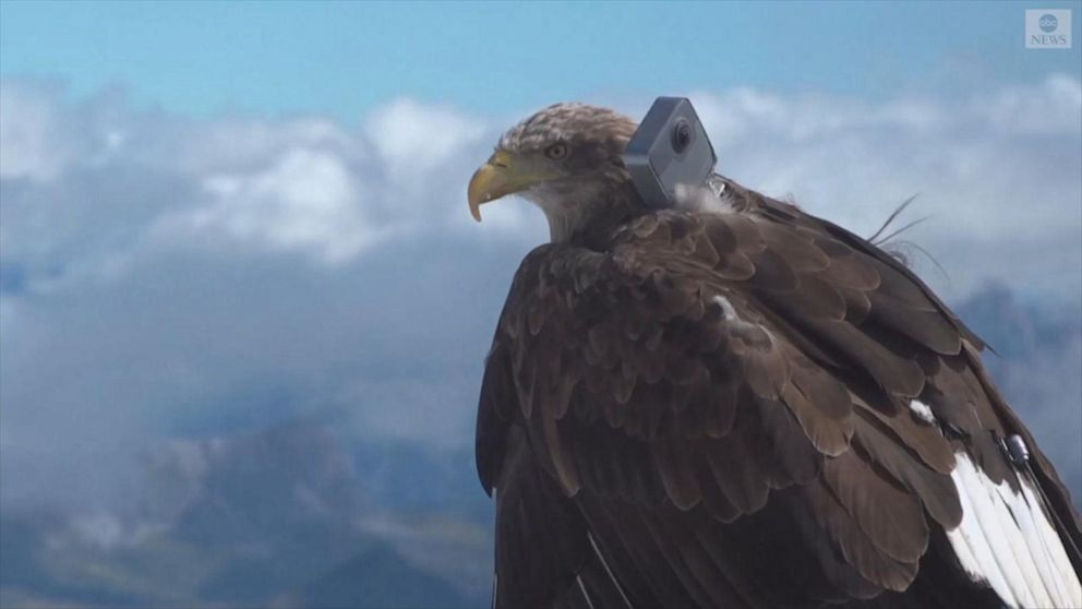 Victor, the eagle, will carry a 360-degree camera on his back while flying over the Alps. Photo source @abcnews.go.com