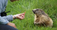 Feeding a marmot in a Chamonix Animal Park