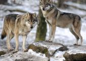 With no fewer than six attacks since 26 April 2020, wolves have become a problem in the Chamonix Valley Alpine pastures.
