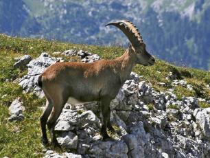 Chèvre de montagne à Chamonix, Mont Blanc