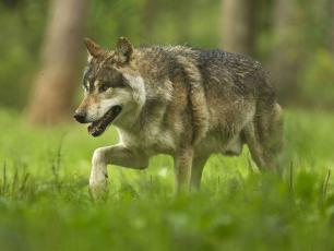 Wolf Attacks in the Chamonix Valley Alpine Pastures