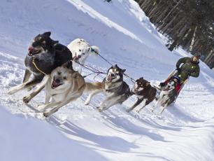 Husky dogs pulling a sled in Chamonix Valley