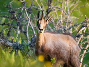 Chamois de Chamonix, l'un des animaux les plus carismatic dans les Alpes