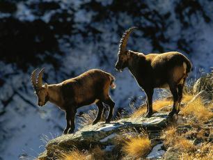 Chamonix Wildlife - Animals in the Chamonix Mountains