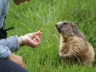 Feeding the Marmot Copyright @ Parc de Merlet