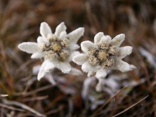 Edelweiss - Flower of the Alps