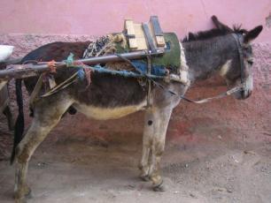 Муле это французское слово для мула