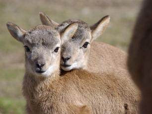 Juvenile Roe Deer Copyright @ Parc de Merlet
