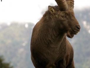 L'Ibex impressionnant avec ses cornes jusqu'à 1 mètre de long