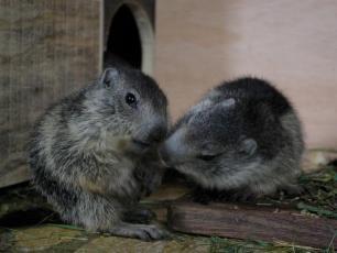 Baby Marmots in Merlet Animal Park