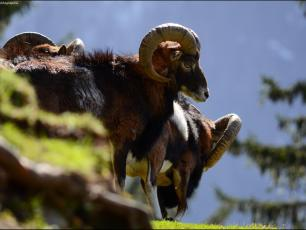 Mouflon Copyright @ Parc de Merlet
